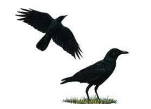 Crow kills