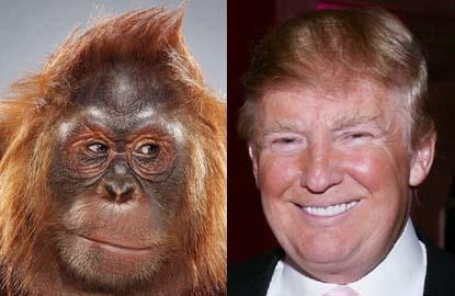trump_orangutan_separated at birth