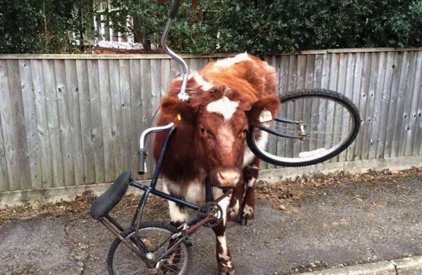 cow:bike