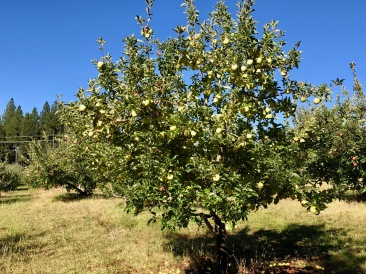 Larsen apple trees-2