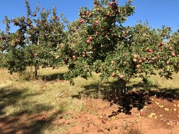 Larsen-apple trees